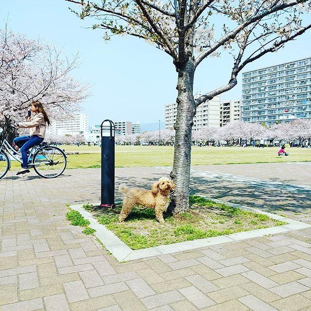ぽんずです御崎公園は桜満開です今朝の診察が落ち着いてたのはみんなお花見なんですね