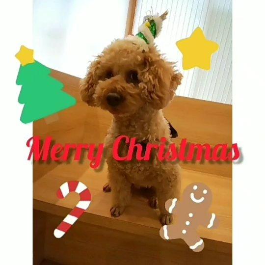 Merry Christmasポンズです僕もクリスマスツリーを頭につけてクリスマス気分を味わいました(半ば強制ですが・・・)笑みなさんはどんなクリスマスを過ごされますか?️僕は、いつもより多めにおやつを貰えないか期待している今日この頃であります